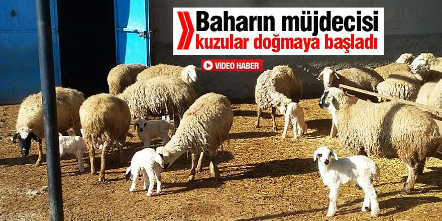Konya'da kuzulama mesaisi başladı
