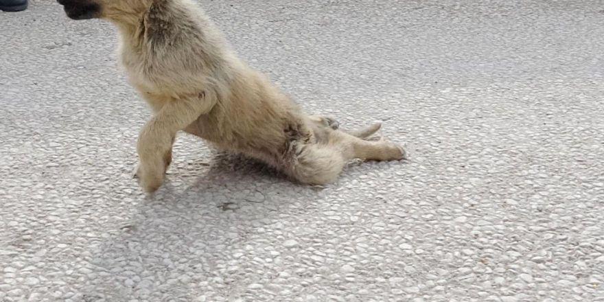 Köpeklerin Saldırısı Sonucu Yavru Köpeğin Ayakları Kırıldı